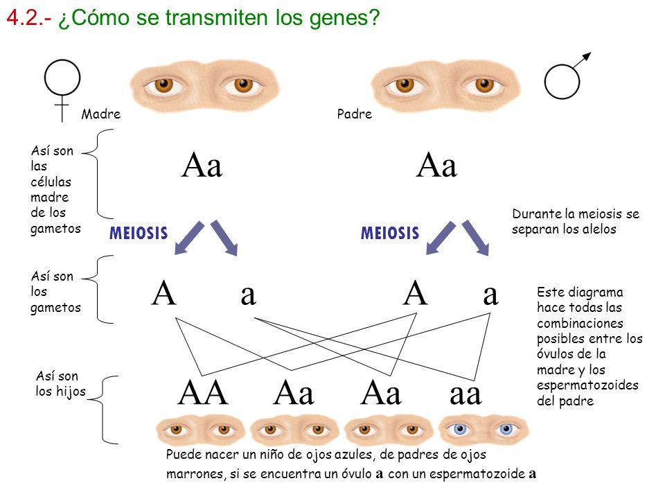 Aa Aa A a A a AA Aa Aa aa 4.2.- ¿Cómo se transmiten los genes MEIOSIS