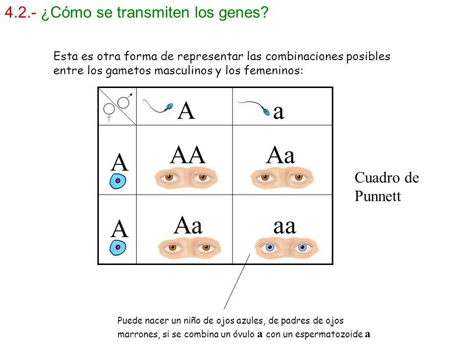 A a AA Aa A Aa aa A 4.2.- ¿Cómo se transmiten los genes