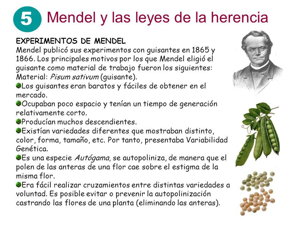 5 Mendel y las leyes de la herencia EXPERIMENTOS DE MENDEL