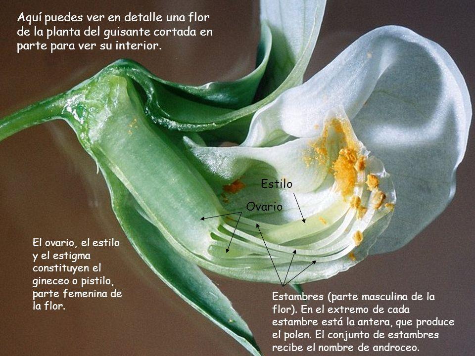 Aquí puedes ver en detalle una flor de la planta del guisante cortada en parte para ver su interior.