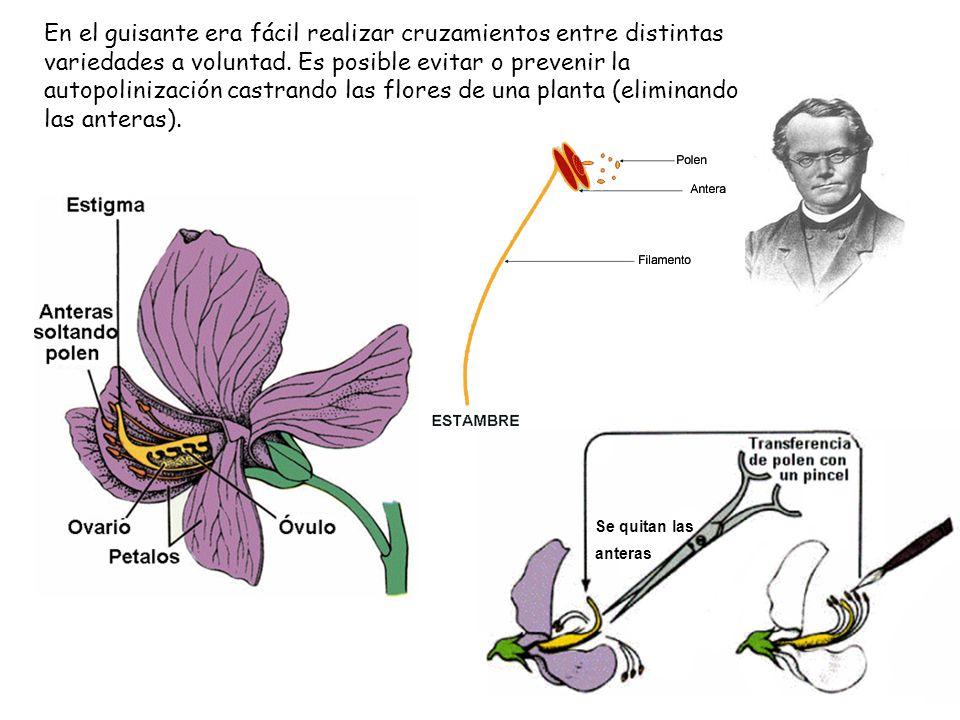 En el guisante era fácil realizar cruzamientos entre distintas variedades a voluntad. Es posible evitar o prevenir la autopolinización castrando las flores de una planta (eliminando las anteras).