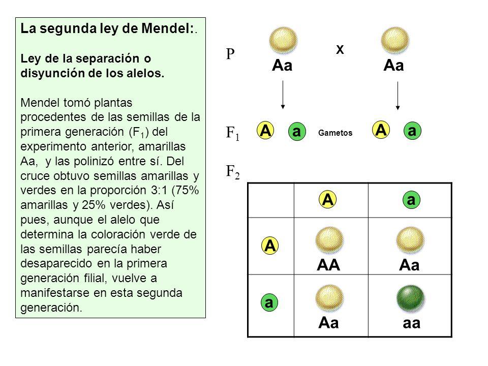 P F1 F2 Aa Aa A a A a A AA Aa a Aa aa La segunda ley de Mendel:.