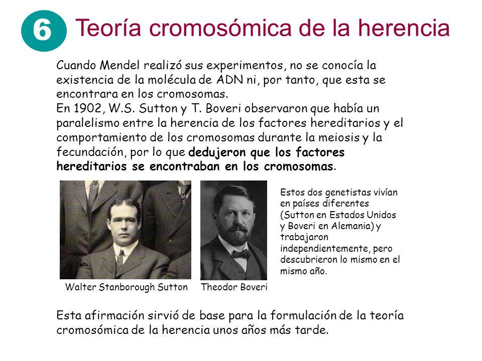 6 Teoría cromosómica de la herencia