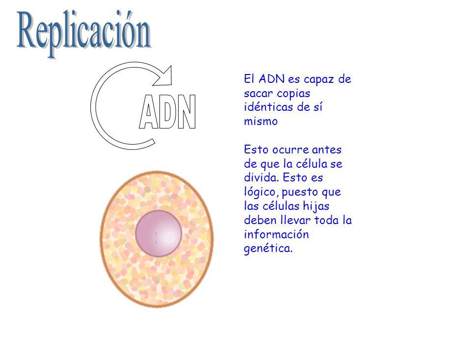 Replicación ADN El ADN es capaz de sacar copias idénticas de sí mismo