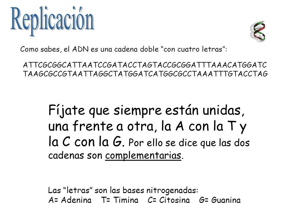 Replicación Como sabes, el ADN es una cadena doble con cuatro letras : ATTCGCGGCATTAATCCGATACCTAGTACCGCGGATTTAAACATGGATC.