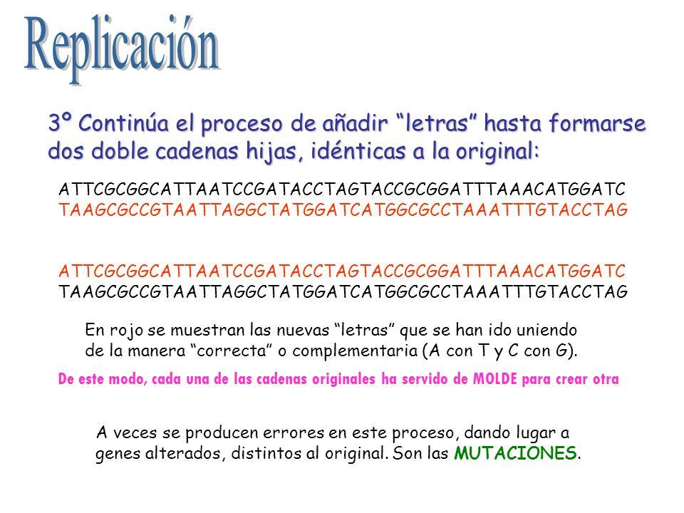 Replicación 3º Continúa el proceso de añadir letras hasta formarse dos doble cadenas hijas, idénticas a la original: