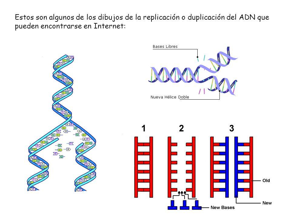Estos son algunos de los dibujos de la replicación o duplicación del ADN que pueden encontrarse en Internet: