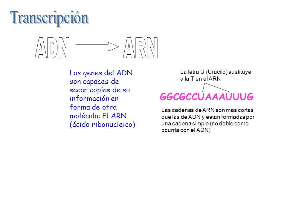 Transcripción ADN ARN GGCGCCUAAAUUUG