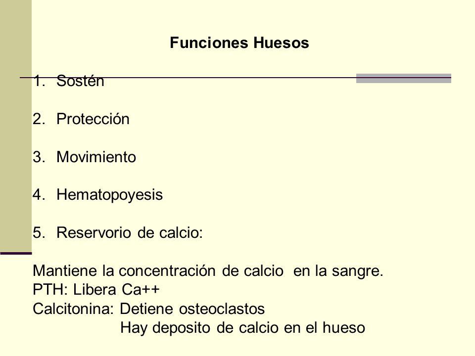 Funciones Huesos Sostén. Protección. Movimiento. Hematopoyesis. Reservorio de calcio: Mantiene la concentración de calcio en la sangre.
