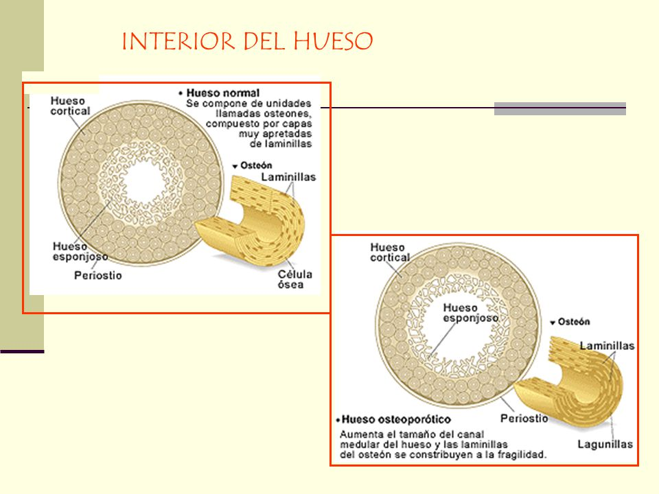INTERIOR DEL HUESO