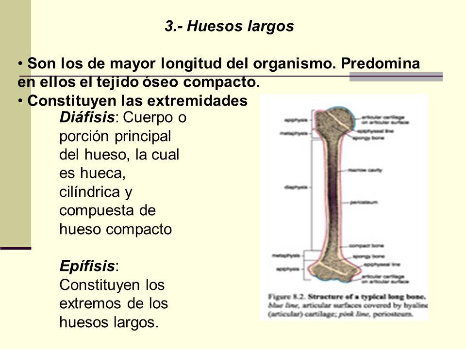 3.- Huesos largos Son los de mayor longitud del organismo. Predomina en ellos el tejido óseo compacto.
