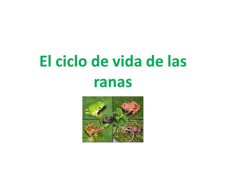 El ciclo de vida de las ranas