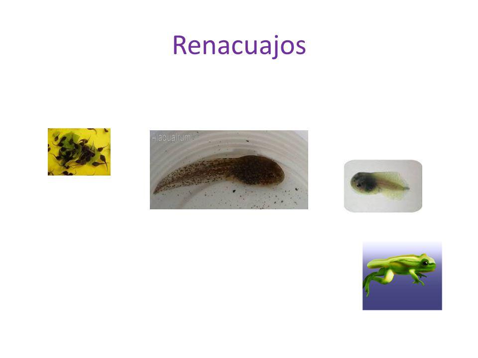 Renacuajos