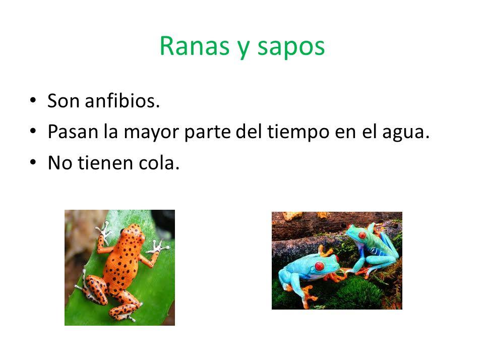 Ranas y sapos Son anfibios.