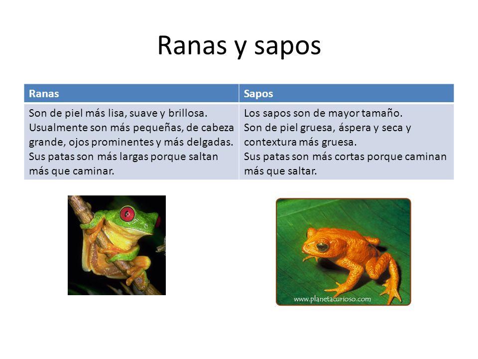 Ranas y sapos Ranas Sapos Son de piel más lisa, suave y brillosa.