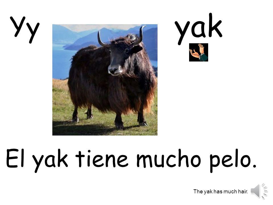 yak Yy El yak tiene mucho pelo. The yak has much hair.