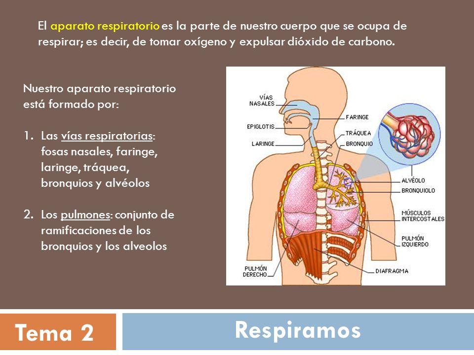 El aparato respiratorio es la parte de nuestro cuerpo que se ocupa de respirar; es decir, de tomar oxígeno y expulsar dióxido de carbono.