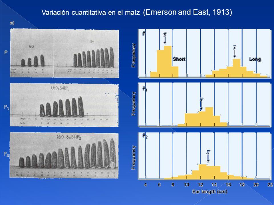Variación cuantitativa en el maíz (Emerson and East, 1913)