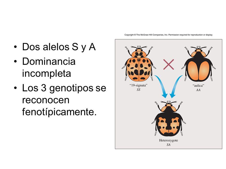 Dos alelos S y A Dominancia incompleta Los 3 genotipos se reconocen fenotípicamente.