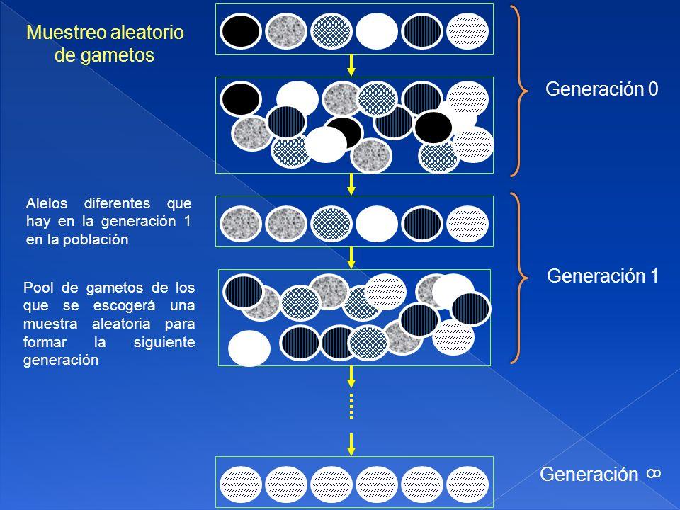 Muestreo aleatorio de gametos Generación 0 Generación 1 Generación 8
