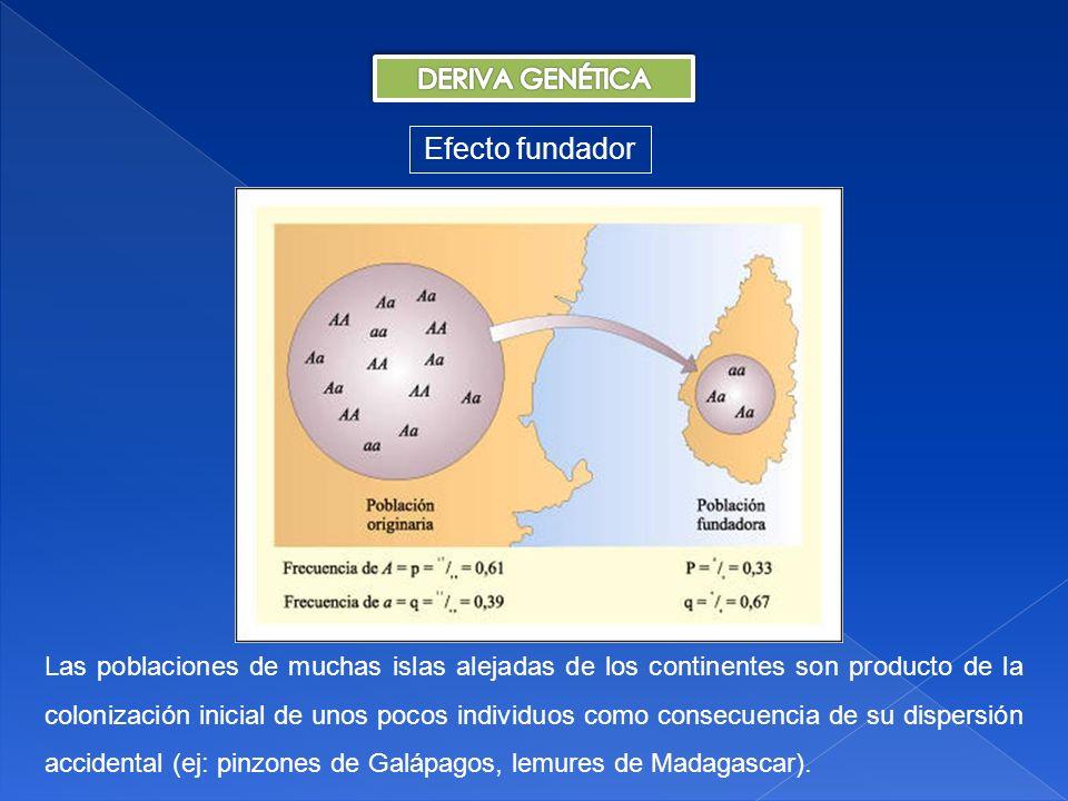 Efecto fundador DERIVA GENÉTICA