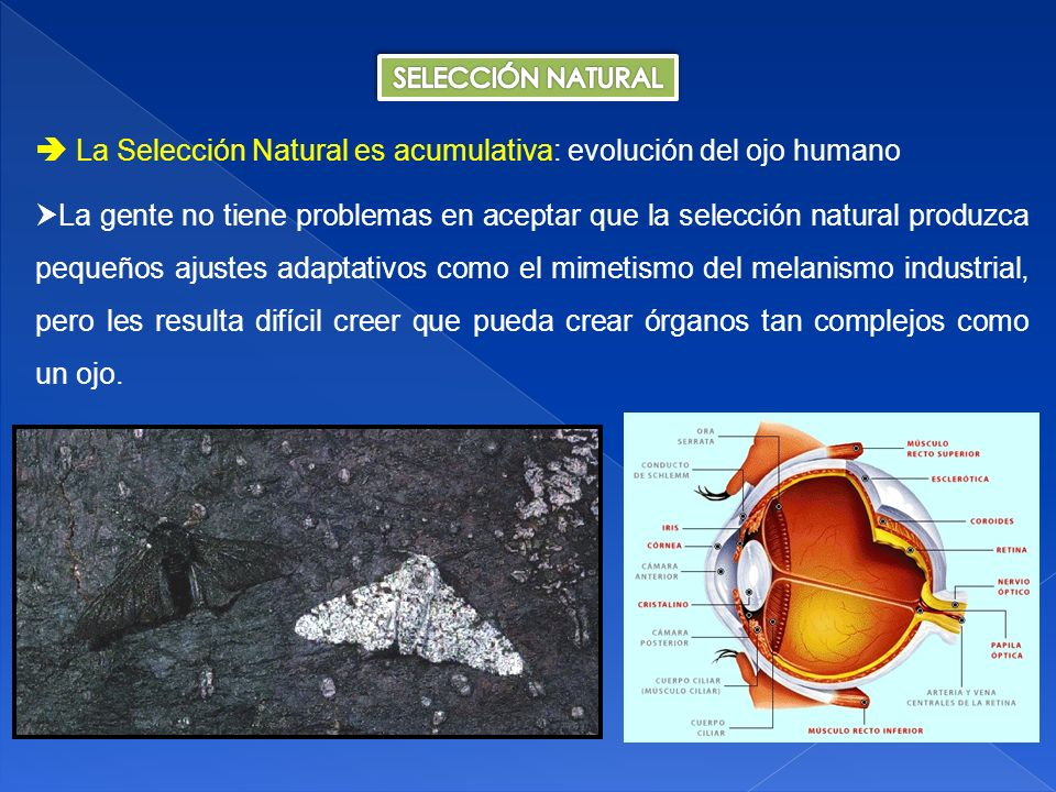  La Selección Natural es acumulativa: evolución del ojo humano