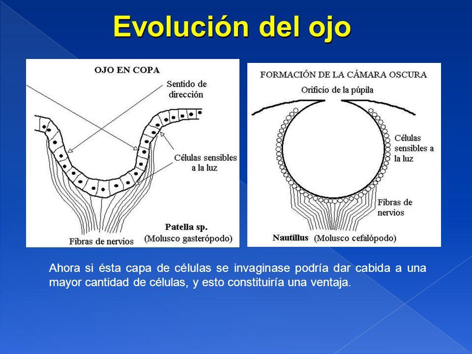 Evolución del ojo Ahora si ésta capa de células se invaginase podría dar cabida a una mayor cantidad de células, y esto constituiría una ventaja.