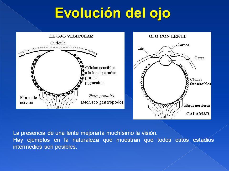 Evolución del ojo La presencia de una lente mejoraría muchísimo la visión.