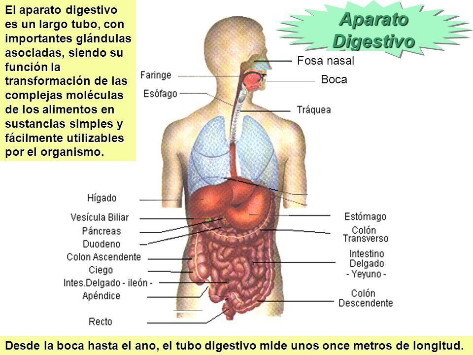 El aparato digestivo es un largo tubo, con importantes glándulas asociadas, siendo su función la transformación de las complejas moléculas de los alimentos en sustancias simples y fácilmente utilizables por el organismo.