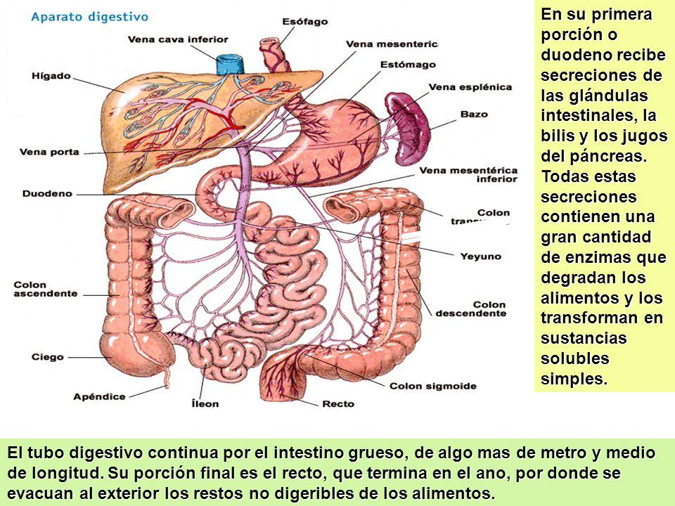 En su primera porción o duodeno recibe secreciones de las glándulas intestinales, la bilis y los jugos del páncreas. Todas estas secreciones contienen una gran cantidad de enzimas que degradan los alimentos y los transforman en sustancias solubles simples.