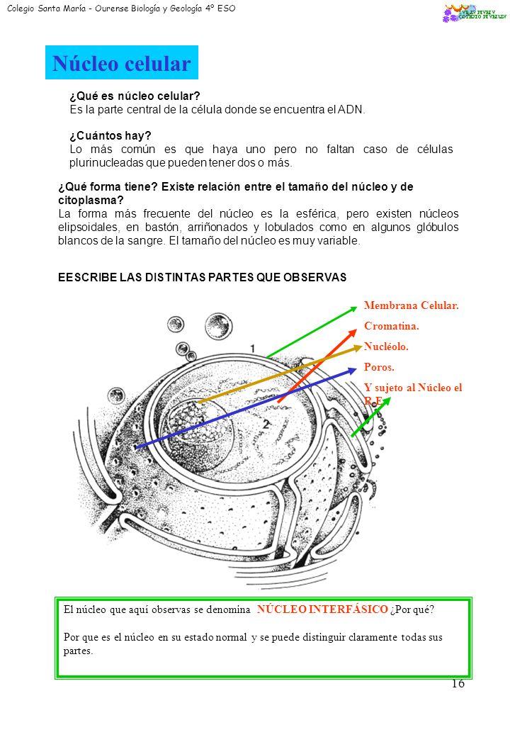 Núcleo celular ¿Qué es núcleo celular