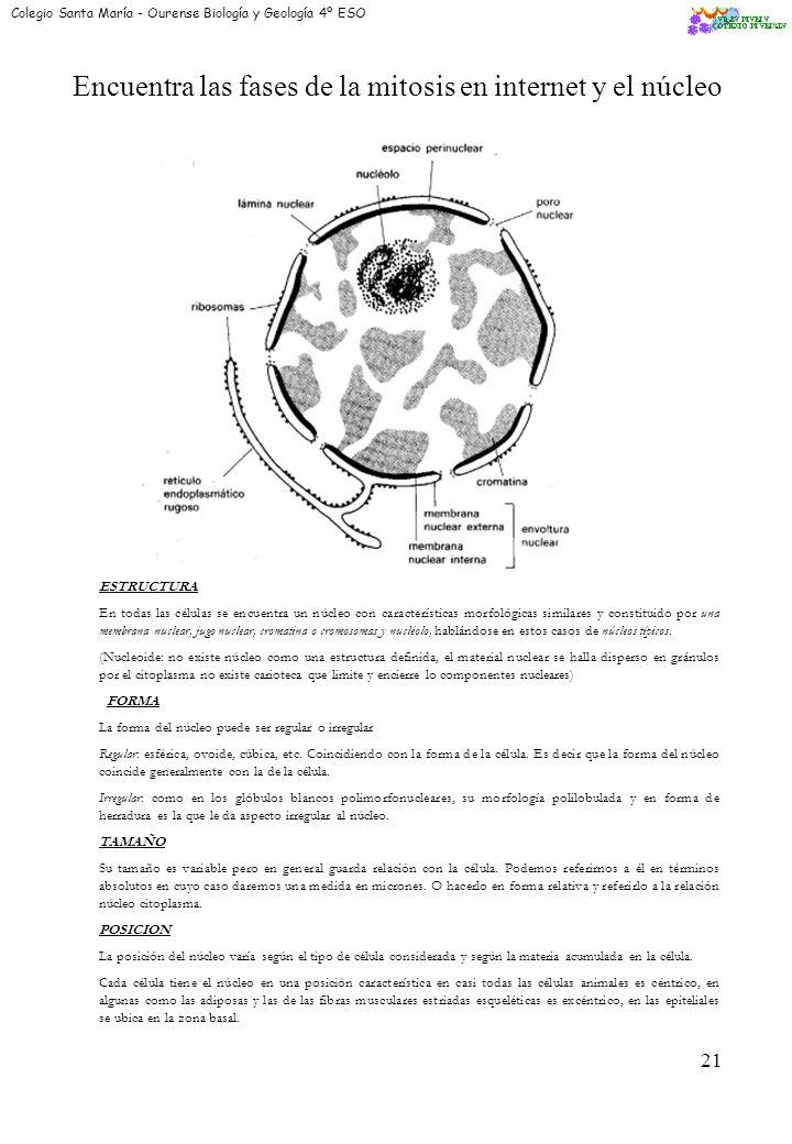 Encuentra las fases de la mitosis en internet y el núcleo