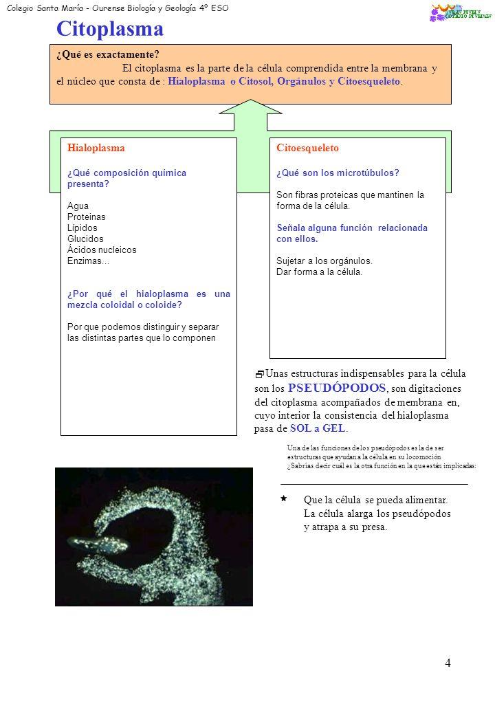 Citoplasma ¿Qué es exactamente