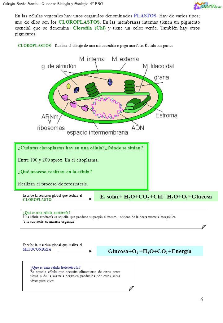 E. solar+ H2O+CO2 +Chl= H2O+O2 +Glucosa Glucosa+O2 =H2O+CO2 +Energía