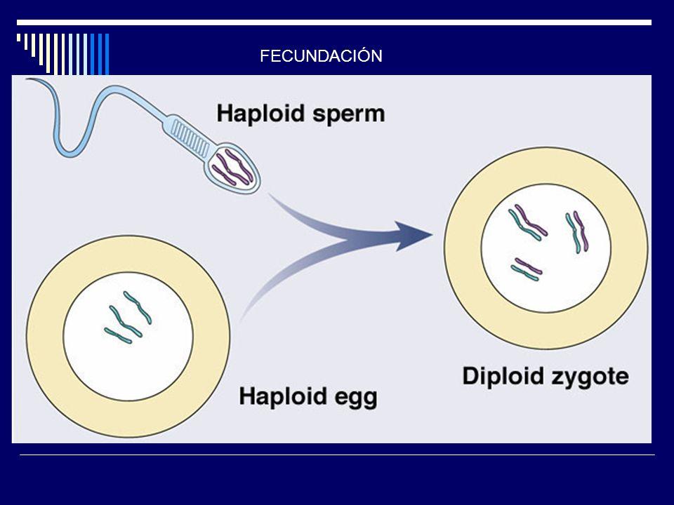 Meiosis 3/25/2017 FECUNDACIÓN G. Podgorski, Biology 1010