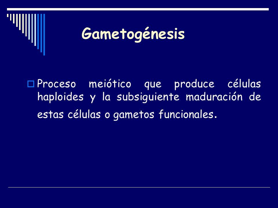 Gametogénesis Proceso meiótico que produce células haploides y la subsiguiente maduración de estas células o gametos funcionales.