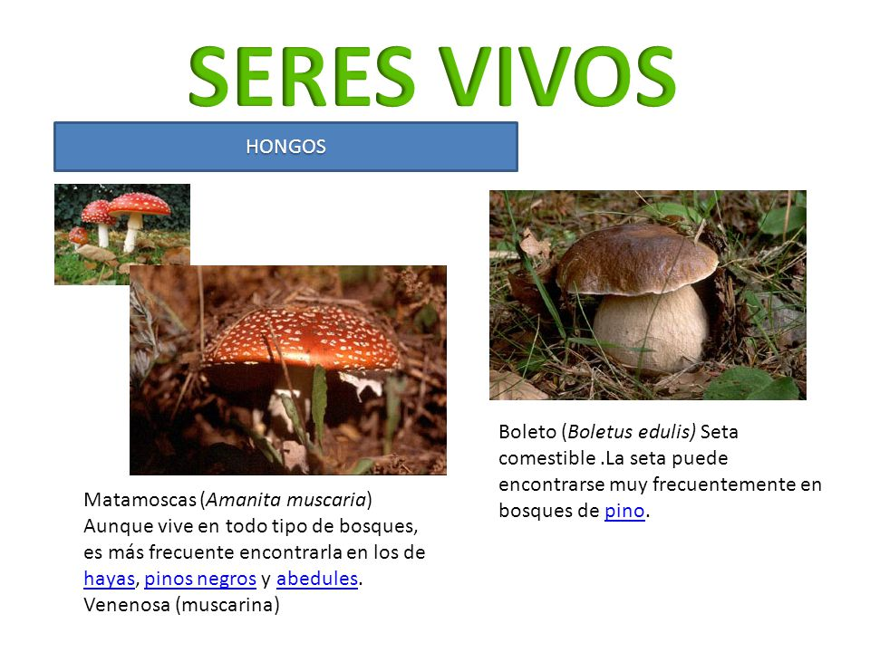 SERES VIVOS HONGOS. Boleto (Boletus edulis) Seta comestible .La seta puede encontrarse muy frecuentemente en bosques de pino.