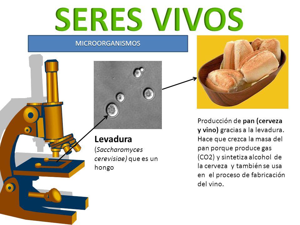SERES VIVOS Levadura (Saccharomyces cerevisiae) que es un hongo