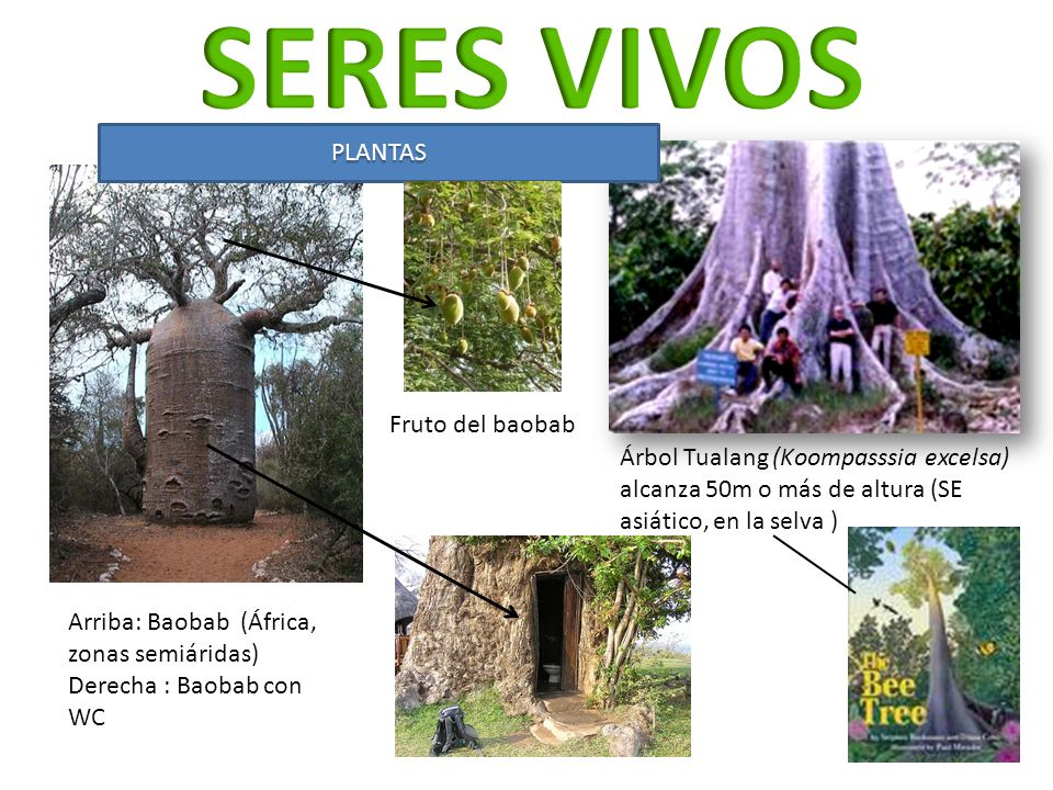 SERES VIVOS PLANTAS Fruto del baobab