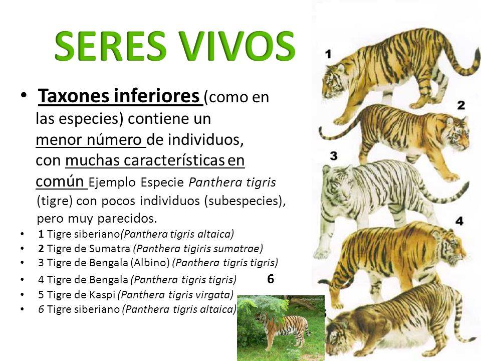 SERES VIVOS Taxones inferiores (como en las especies) contiene un