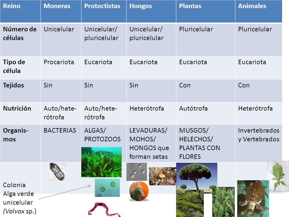 Reino Moneras. Protoctistas. Hongos. Plantas. Animales. Número de células. Unicelular. Unicelular/