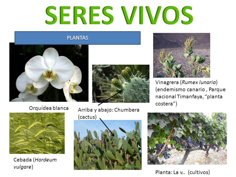 SERES VIVOS PLANTAS. Vinagrera (Rumex lunaria) (endemismo canario , Parque nacional Timanfaya, planta costera )