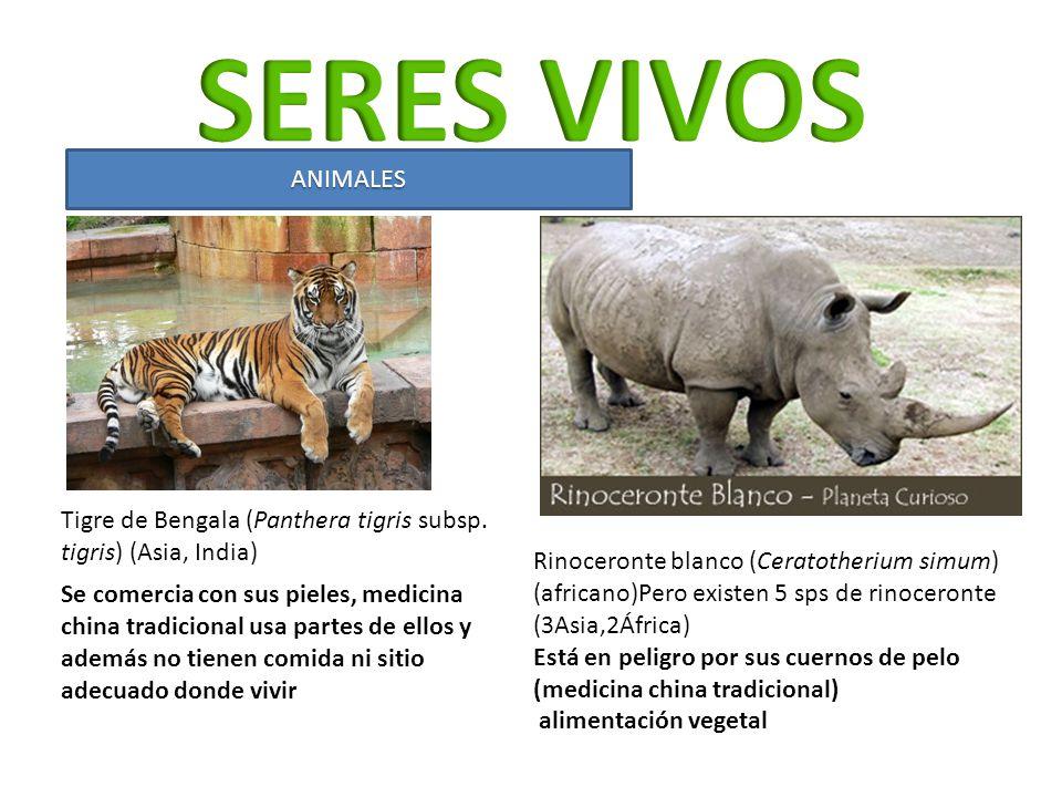 SERES VIVOS ANIMALES. Tigre de Bengala (Panthera tigris subsp. tigris) (Asia, India)