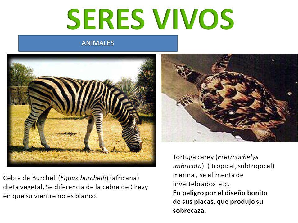 SERES VIVOS ANIMALES. Tortuga carey (Eretmochelys imbricata) ( tropical, subtropical) marina , se alimenta de invertebrados etc.