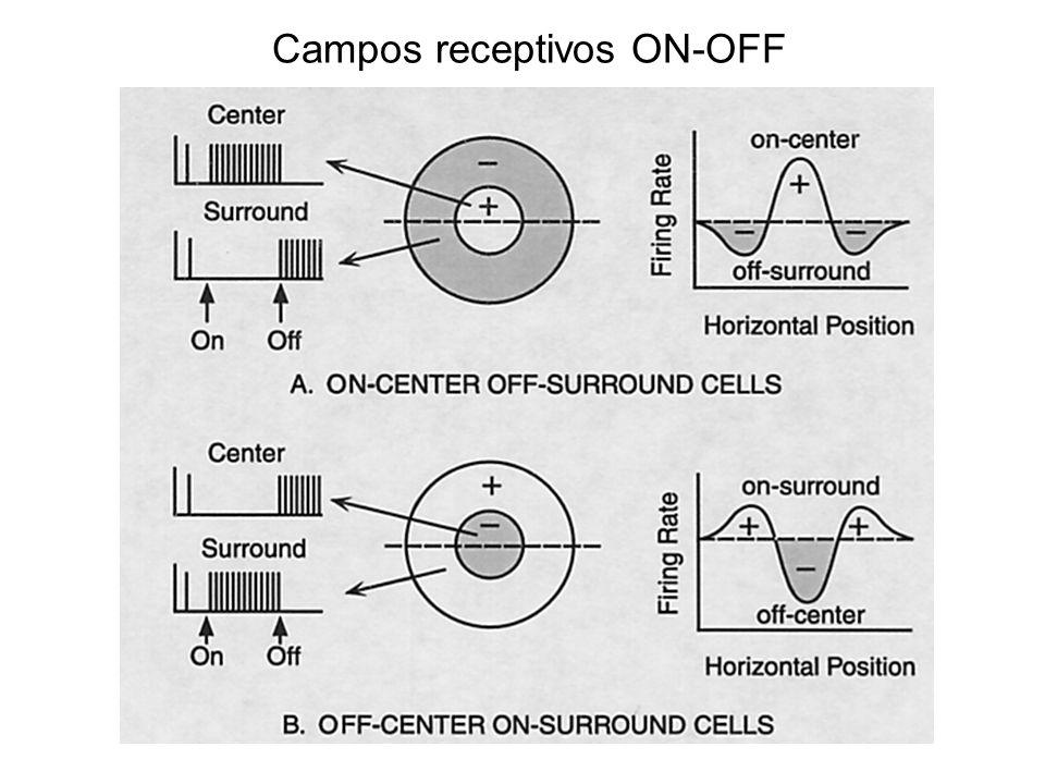 Campos receptivos ON-OFF