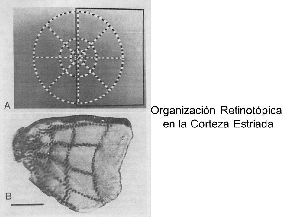 Organización Retinotópica
