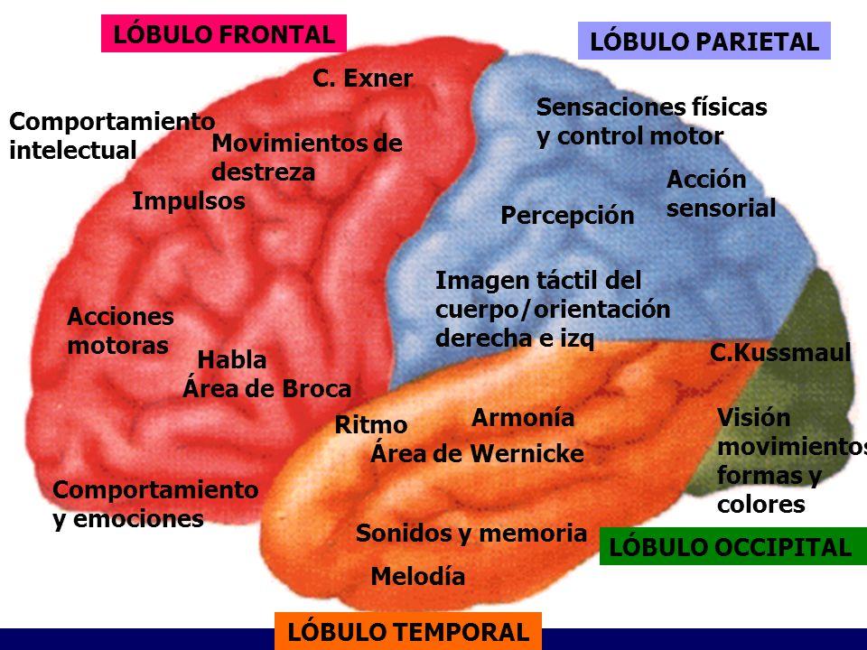 LÓBULO FRONTAL LÓBULO PARIETAL. C. Exner. Sensaciones físicas y control motor. Comportamiento intelectual.