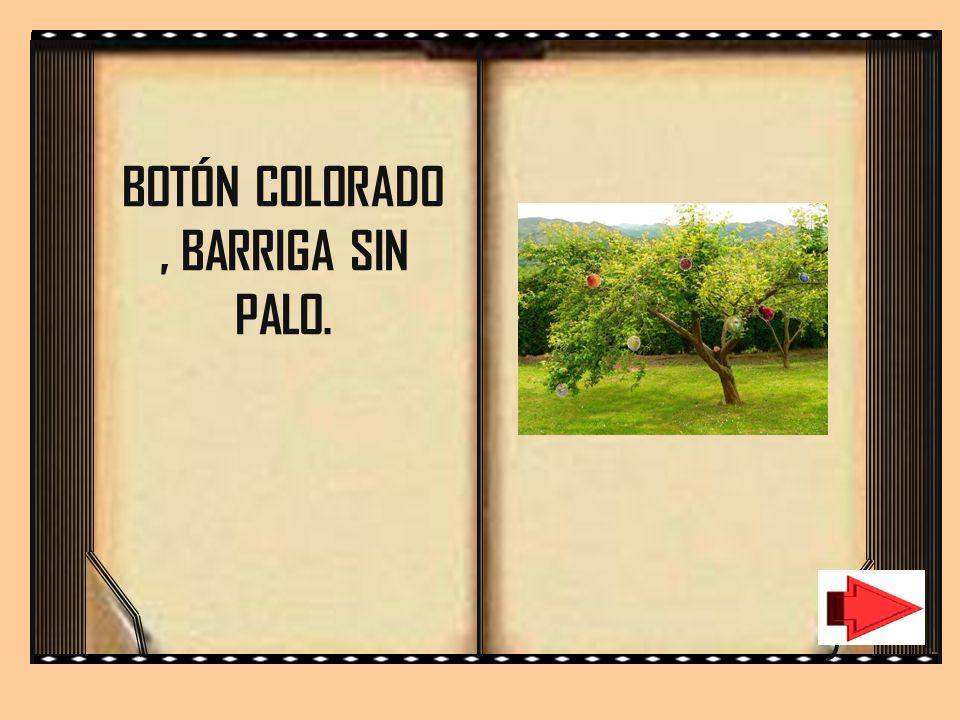 BOTÓN COLORADO , BARRIGA SIN PALO.