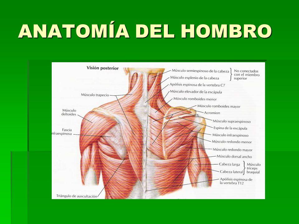 Asombroso Hombro Anatomía Ppt Motivo - Imágenes de Anatomía Humana ...