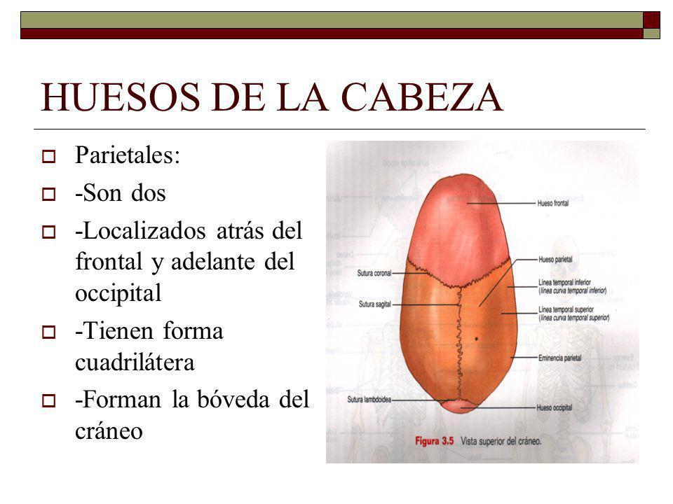 HUESOS DE LA CABEZA Parietales: -Son dos